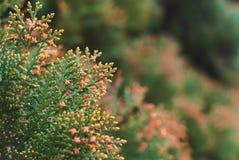 Luxuriantly blommande thuja royaltyfria foton