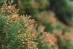 Luxuriantly blooming thuja royalty free stock photos