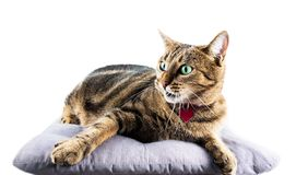 Luxurious Bengal cat lies on a soft pillow and lazily pulls the. Paw to the side. Mixed media Royalty Free Stock Photography