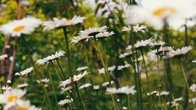 Luxurious blooming daisies bloom in summer garden stock video footage