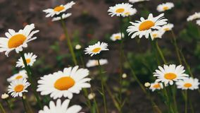 Luxurious blooming daisies bloom in summer garden stock footage