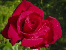 Luxurious bright red rose Red Star against the background of lush green garden. Rose petals with dew drops. Close-up. Selective focus. Romantic love theme stock photography