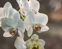 Luxurious close-up of white phalaenopsis orchid flower branch. Phalaenopsis known as the Moth Orchid or Phal against light on the. Brown grey bokeh background royalty free stock photo