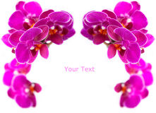 Luxurious frame of orchids Royalty Free Stock Photography