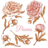 Luxurious peonies Royalty Free Stock Photography
