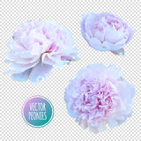 Luxurious pink peony flower painted in pastel colors Stock Photography