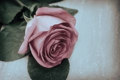 Luxurious pink rose with leaves on a light background . royalty free stock images