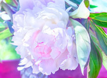 Luxurious pink and white peony. At sunny summer day stock images
