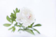 Luxurious white peony. Royalty Free Stock Photo