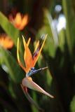 Luxury Bird of Paradise stock image
