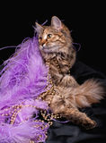 Luxury cat. Beautiful cat with luxury accessories on black background Royalty Free Stock Images
