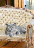 Luxury chaise pedigree cat Stock Photography