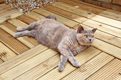 Luxury decking pedigree cat Stock Photo