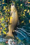 Luxury fishing trophy from autumn lake. Male salmon (brown trout) in breeding coloration on bed of white lichen with yellow leaves stock photography