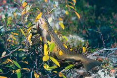Luxury fishing trophy from autumn lake. Male salmon (brown trout) in breeding coloration on bed of white lichen with yellow leaves royalty free stock image