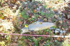 Luxury fishing trophy from autumn lake. Male salmon (brown trout) in breeding coloration on bed of white lichen with yellow leaves royalty free stock images