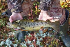 Luxury fishing trophy from autumn lake. Male salmon (brown trout) in breeding coloration on bed of white lichen with yellow leaves stock image