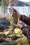 Luxury fishing trophy from autumn lake. Male salmon (brown trout) in breeding coloration on bed of white lichen with yellow leaves stock photo