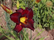 Luxury flower Daylily Chocolate Candyin the garden close-up.A daylily is a flowering plant in the genus Hemerocallis stock photography