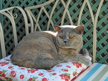 Luxury pedigree cat on garden chaise Stock Photo