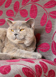 Luxury pedigree cat Stock Images