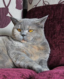 Luxury pedigree cat Stock Photo