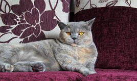 Luxury pedigree cat on sofa Royalty Free Stock Photo