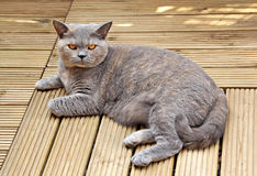 Luxury pedigree decking cat Royalty Free Stock Photos