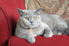 Luxury pedigree sofa cat Stock Photos
