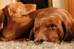 Luxury pets. Brown Hungarian Vizsla dogs sleeping on the carpet Royalty Free Stock Images