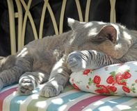 Luxury rest for pedigree british shorthair cat royalty free stock images