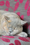 Luxury sleeping pedigree cat Stock Photo