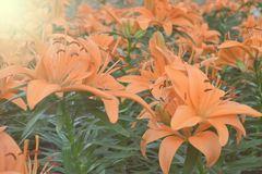 Luz abstrata macia e do borrão - flor alaranjada para o fundo Fotografia de Stock