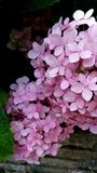 Luz - arbusto cor-de-rosa do hortensia Foto de Stock Royalty Free