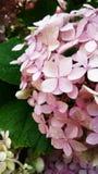 Luz - arbusto cor-de-rosa do hortensia Imagens de Stock Royalty Free