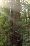 Luz através das árvores imagens de stock royalty free