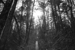Luz através das árvores 2 Foto de Stock Royalty Free
