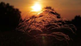 Luz bonita do por do sol com a planta do stipa no prado video estoque