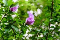 Luz bonita - flores roxas Foto de Stock