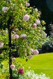 Luz bonita - jardim de rosas cor-de-rosa Imagens de Stock Royalty Free