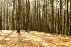 Luz bonita na floresta do pinho imagem de stock