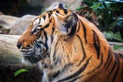 Luz bonita preta à terra do fundo A do tigre feroz Imagem de Stock Royalty Free