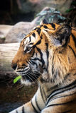 Luz bonita preta à terra do fundo A do tigre feroz Fotos de Stock