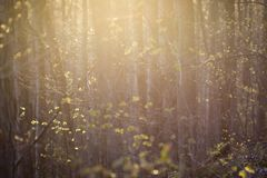 Luz brandamente cor-de-rosa e amarela em uma floresta de brotamento fotos de stock royalty free