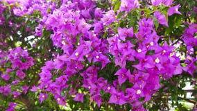 Luz - buganvílias roxas 04 vídeos de arquivo