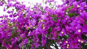 Luz - buganvílias roxas 06 vídeos de arquivo
