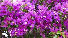 Luz - buganvílias roxas 05 video estoque