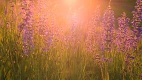Luz caliente del sol del verano que brilla a trav?s de campo de hierba salvaje almacen de metraje de vídeo