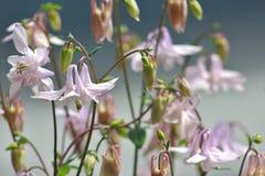 Luz - Columbines cor-de-rosa Fotografia de Stock