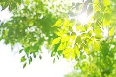 Luz con las hojas verdes Foto de archivo